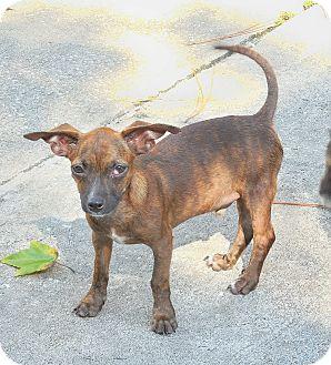 Chihuahua/Dachshund Mix Puppy for adoption in Ormond Beach, Florida - Brownie