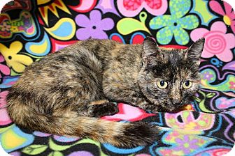 Domestic Shorthair Cat for adoption in HARRISONVILLE, Missouri - Bonnie