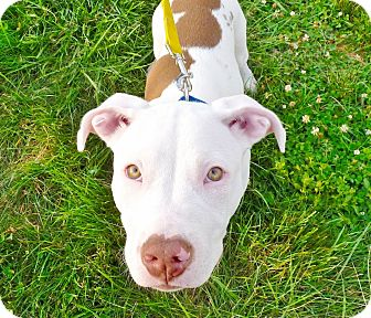 American Pit Bull Terrier Mix Puppy for adoption in Reisterstown, Maryland - Spencer