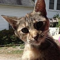 Domestic Shorthair Cat for adoption in Salisbury, North Carolina - Dora