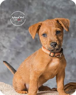 Dachshund/Beagle Mix Puppy for adoption in Cincinnati, Ohio - Chip