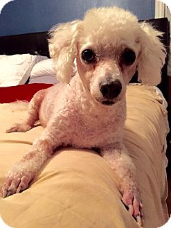 Miniature Poodle Dog for adoption in Norman, Oklahoma - Nanette