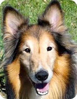 Sheltie, Shetland Sheepdog Dog for adoption in Winchester, Kentucky - WHITMAN(GORGEOUS PB SHELTIE!!
