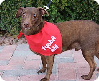 Dachshund/Chihuahua Mix Dog for adoption in Las Vegas, Nevada - HANK