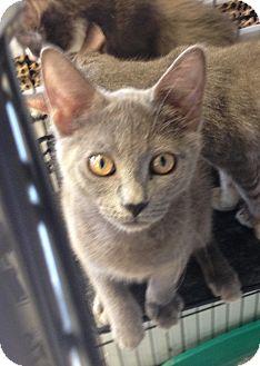 Russian Blue Kitten for adoption in Ringgold, Georgia - Volya