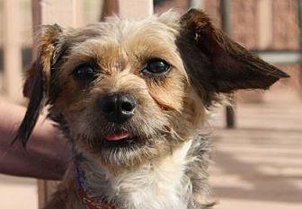 Dachshund/Brussels Griffon Mix Dog for adoption in Colorado Springs, Colorado - Vivian