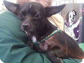 Chihuahua Dog for adoption in Huntley, Illinois - Sissy
