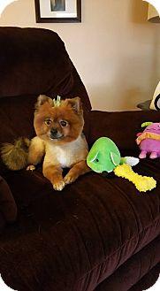 Pomeranian Mix Dog for adoption in Rockford, Illinois - Porsche