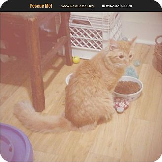 Maine Coon Cat for adoption in Madison, Tennessee - Edison - cuddly