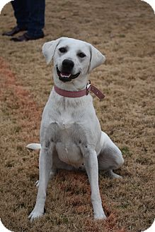 Labrador Retriever Mix Dog for adoption in Chicago, Illinois - Maggie