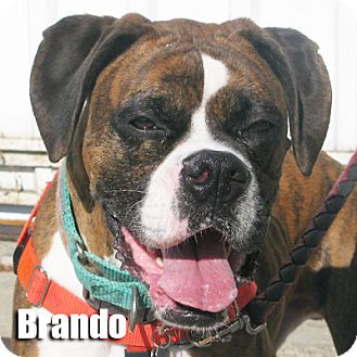 Boxer Dog for adoption in Encino, California - Brando