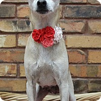 Terrier (Unknown Type, Small)/Chihuahua Mix Dog for adoption in Benbrook, Texas - Suzy