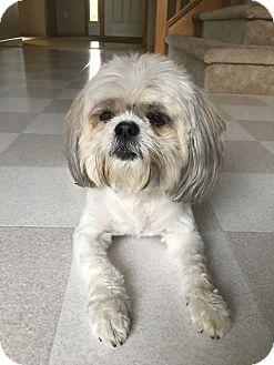 Shih Tzu Dog for adoption in Eden Prairie, Minnesota - MAGGIE
