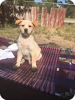 German Shepherd Dog Mix Puppy for adoption in Victorville, California - Padme & Gin