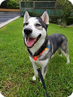 Siberian Husky Mix Dog for adoption in Clearwater, Florida - Shadow