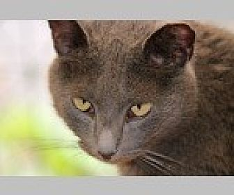 Domestic Shorthair Cat for adoption in Pittsboro, North Carolina - Gwenie