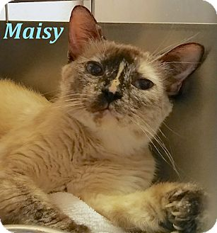 Domestic Shorthair Cat for adoption in El Cajon, California - Maisy