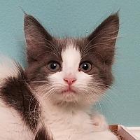 Adopt A Pet :: Skittles - Stafford, VA