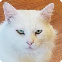 Domestic Longhair Cat for adoption in Morgan Hill, California - Whisper