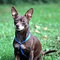 Adopt A Pet :: CHOCOLATE PRINCESS - richmond, VA