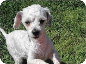 Poodle (Toy or Tea Cup) Dog for adoption in Whittier, California - Rosy