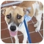 Photo 3 - Beagle/Terrier (Unknown Type, Medium) Mix Dog for adoption in Homestead, Florida - Sam Sam (aka Lemon Drop)