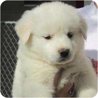 Great Pyrenees/Keeshond Mix Puppy for adoption in Fairfield, Texas - Puppies