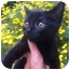 Photo 1 - Domestic Shorthair Kitten for adoption in Studio City, California - Mini