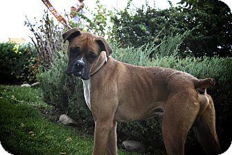 Boxer Mix Dog for adoption in Broomfield, Colorado - 0000Gelato