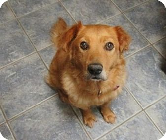 Golden Retriever/Chow Chow Mix Dog for adoption in White Settlement, Texas - Golden Grace-adopted