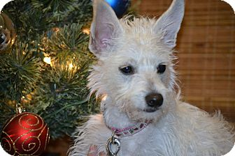 Westie, West Highland White Terrier/Maltese Mix Puppy for adoption in Bellflower, California - Chiquita