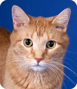 Domestic Shorthair Cat for adoption in Chicago, Illinois - Milo