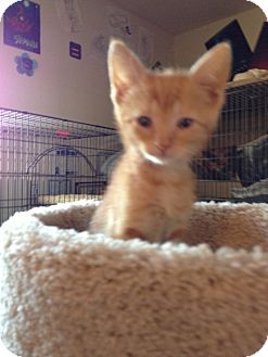 Domestic Shorthair Kitten for adoption in Fountain Hills, Arizona - BONNIE