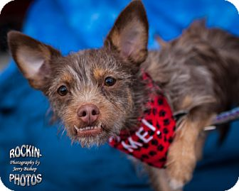 Terrier (Unknown Type, Small) Mix Dog for adoption in Humble, Texas - Eddie
