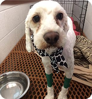 Cockapoo Mix Dog for adoption in Martinez, Georgia - Abbi