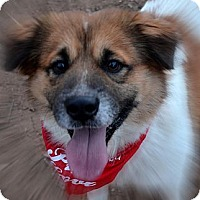 Adopt A Pet :: Scamp - Burleson, TX