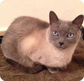 Siamese Cat for adoption in Long Beach, New York - Caesar