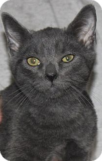 Domestic Shorthair Kitten for adoption in Colonial Heights, Virginia - Doc