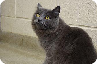 Domestic Longhair Cat for adoption in Bucyrus, Ohio - Baba Ganoush