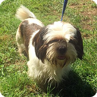 Shih Tzu Mix Dog for adoption in Bloomfield, Connecticut - Andy