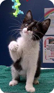 Domestic Shorthair Kitten for adoption in Fayetteville, Georgia - Kedi