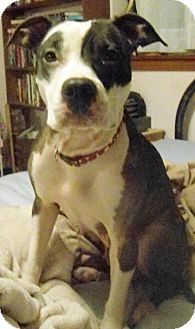 Pit Bull Terrier Mix Dog for adoption in Battle Ground, Washington - Opal