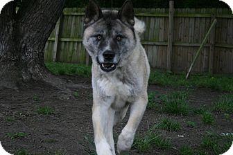 Akita Dog for adoption in Virginia Beach, Virginia - Kito