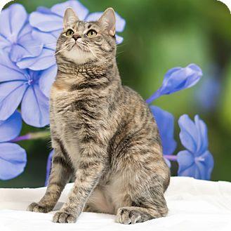 Domestic Shorthair Cat for adoption in Houston, Texas - Rey