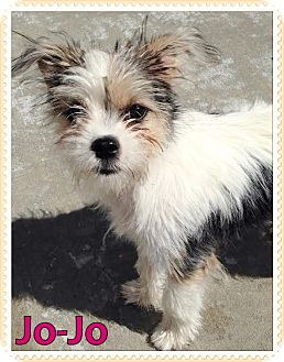 Chihuahua/Shih Tzu Mix Puppy for adoption in Idaho Falls, Idaho - Jo-Jo