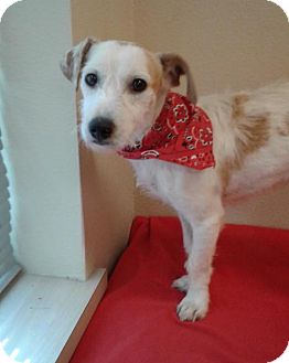 Jack Russell Terrier Puppy for adoption in Houston, Texas - Bucky in Houston