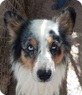 Australian Shepherd Dog for adoption in Las Vegas, Nevada - Yowza