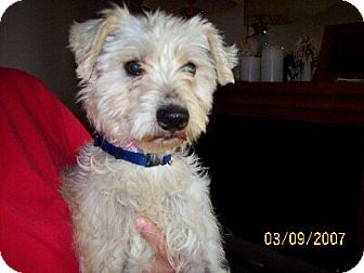 Poodle (Miniature)/Wirehaired Fox Terrier Mix Dog for adoption in Lafayette, Louisiana - J Sparky