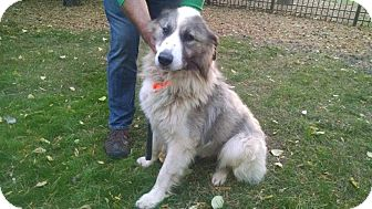 Great Pyrenees Mix Dog for adoption in Hainesville, Illinois - Smitty