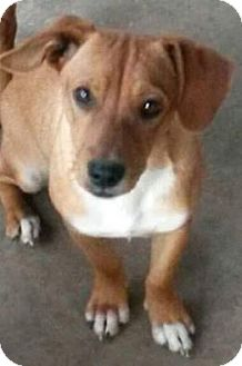 Dachshund Mix Dog for adoption in Broken Arrow, Oklahoma - Marty